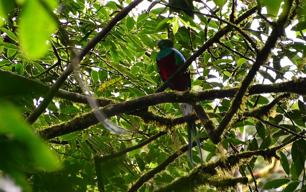 Lucky to see the rarely seen Resplendent Quetzal at Monteverde Cloud Forest Reserve
