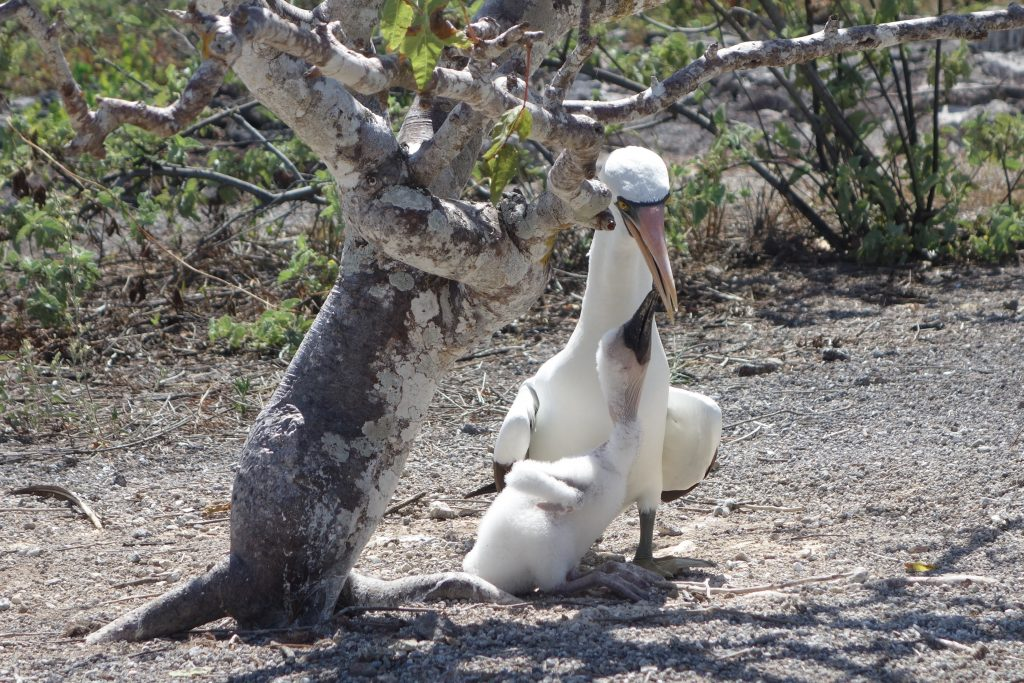 Mommy Nazca booby feeding its two-week old chick