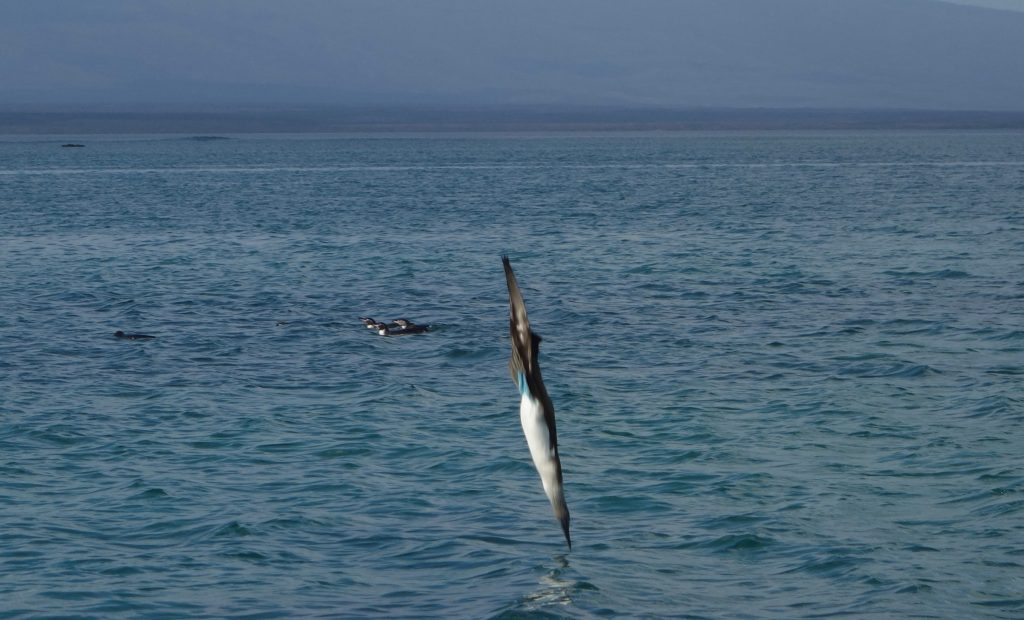 A blue-footed booby dives into the water to catch a fish while Galapagos penguins swim in the background