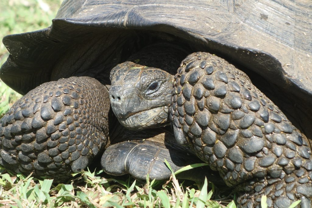 Galápagos tortoise... ...such a cute primitive creature!